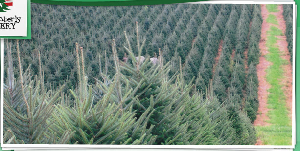 the national christmas tree association represents christmas tree professionals all across the united states and promotes the use of real christmas trees - National Christmas Tree Association